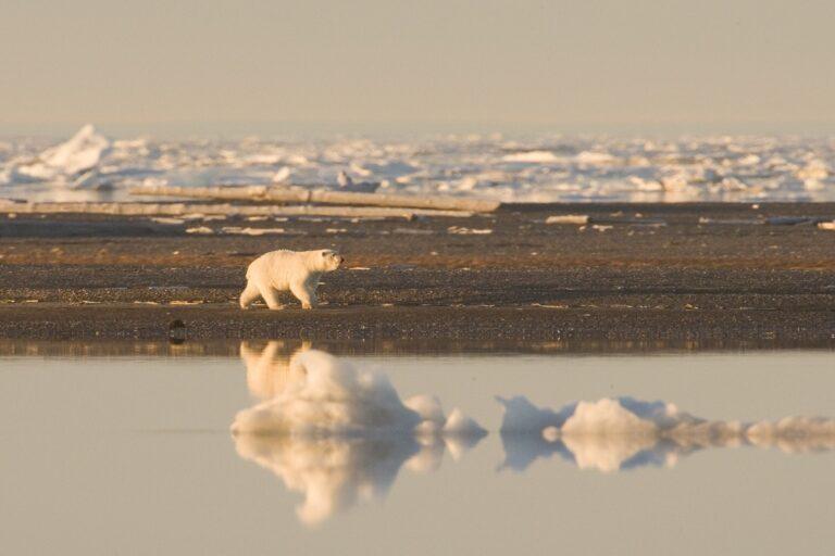 polar-bear-912112_1920